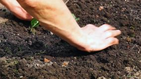 Tillage of strawberries plant stock video footage