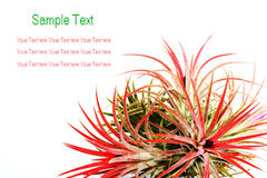 Tillandsia Stock Photography