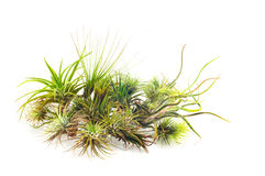 Tillandsia Royalty Free Stock Photo