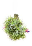 Tillandsia. Royalty Free Stock Image