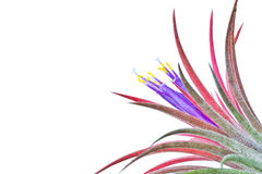Tillandsia. Stock Photo