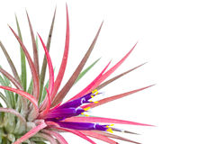 Tillandsia. Stock Photography