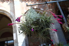 Tillandsia royalty-vrije stock fotografie