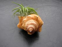 Tillandsia air plant Mexican Ionantha tucked into a seashell. On black background stock photo
