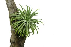 Tillandsia air plant Royalty Free Stock Image