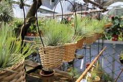 Tillandsia air plants in baskets Stock Images
