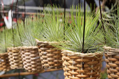 Tillandsia air plants in baskets - Series 4 Stock Image