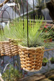 Tillandsia air plants in baskets - Series 3 Stock Photos