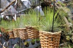 Tillandsia air plants in baskets - Series 2 Royalty Free Stock Photos