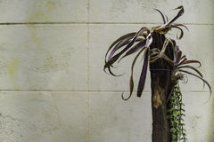 Tillandsia Anceps sul ceppo Fotografia Stock