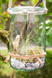 Tillandsia argentea in a jar. Tillandsia argentea, a airplant, decorative placed in a jar Royalty Free Stock Images
