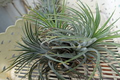 Tillandsia Royalty Free Stock Images