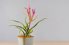 Tillandsia in bloom on gray background Stock Images