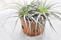 Tillandsia or  Bromeliaceae Stock Photo