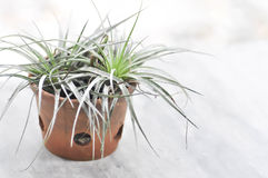 Tillandsia or  Bromeliaceae Royalty Free Stock Images