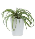 Tillandsia in a ceramic pot on white backround Royalty Free Stock Photography