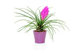 Tillandsia cyanea flower isolated on white. Royalty Free Stock Photo