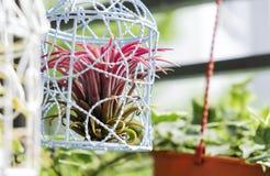 Tillandsia in de decoratie van de vogelkooi in de kleine tuin stock foto