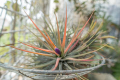 Tillandsia flower Stock Photography