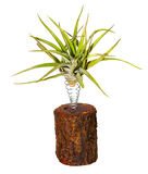 Tillandsia growing elevated over a log Royalty Free Stock Photography