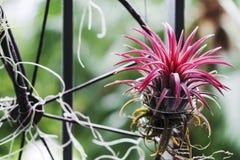 Tillandsia im kleinen Garten am Balkon Stockfoto