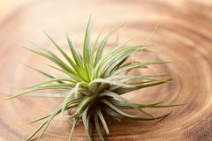 Tillandsia Stock Images
