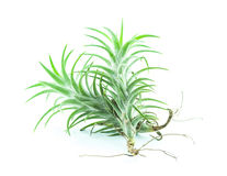 Tillandsia isolated Royalty Free Stock Photos