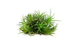 Tillandsia isolated on white background. Bunch of Tillandsia plant isolated on white background Stock Images