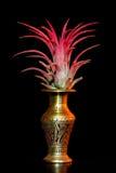 Tillandsia juncea plant Royalty Free Stock Photography