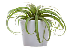Free Tillandsia On The White Royalty Free Stock Photography - 55000907
