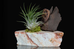 Tillandsia plant on the rock with piece of wood. On black. Tillandsia species are epiphytes (aerophytes = air plants) - so they normally grow without soil Royalty Free Stock Photo