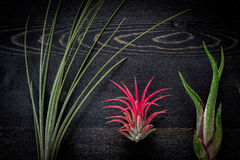 Tillandsia plants Royalty Free Stock Photography