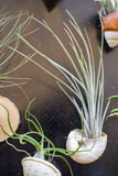 Tillandsia plants Royalty Free Stock Image