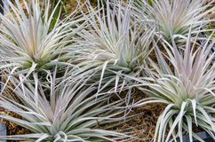 Tillandsia plants for sale at the nursery Royalty Free Stock Photo