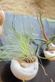 Tillandsia rośliny Zdjęcie Stock