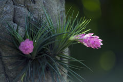 Tillandsia stricta, South American bromeliad Stock Images