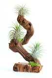 Tillandsia tree Stock Photo