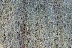 Tillandsia Usneoides Moss Airplant spagnolo capace di assorbimento dell'umidità ambientale senza fondo delle radici fotografie stock libere da diritti