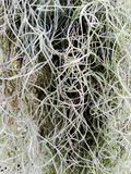 Tillandsia usneoides spanish ​moss. stock photo
