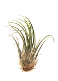 Tillandsia on a white background Stock Image