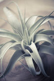 Tillandsia xerographica Stock Photography