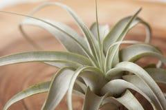 Tillandsia xerographica. Silver air root plant Tillandsia Xerographica on wood plate Stock Photography