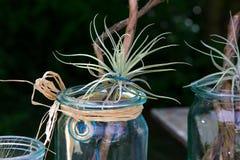Tillandsiaoaxacana på trä Royaltyfri Fotografi