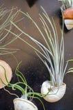 Tillandsiaväxter royaltyfri bild
