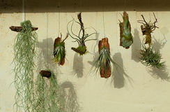 Tillansia Immagine Stock