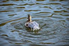 tillbaka änder av vatten Den kvinnliga gräsandanden ytbehandlade från en dyk med sjövatten som flödar av fjädrar royaltyfria bilder