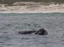 Tillbaka av en sydlig simning för högert val nära Hermanus, västra udde africa near berömda kanonkopberg den pittoreska södra fjä arkivbilder