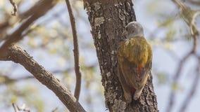 Tillbaka detalj av östliga Grey Woodpecker royaltyfria foton