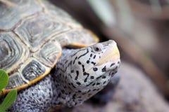 tillbaka diamantsköldpadda Arkivbild