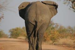 tillbaka elefant s Fotografering för Bildbyråer
